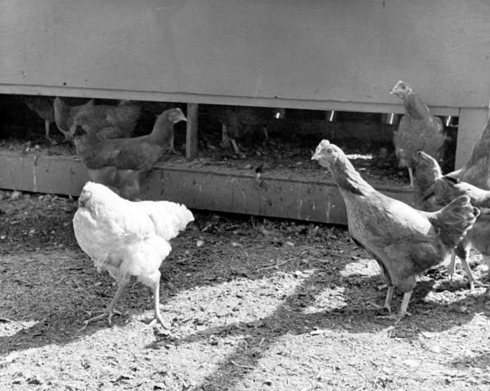 Historyczne Kadry#7: Bezgłowy kurczak Mike